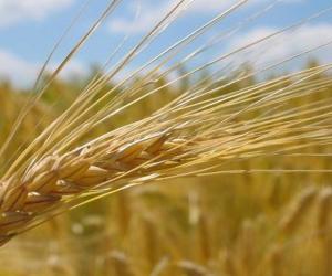 Graansoorten: Grondstoffen van de molenaar