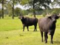 Eerlijke buffelmozzarella uit Nederland