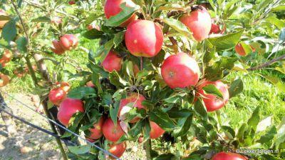appels-peren-plukken_4012