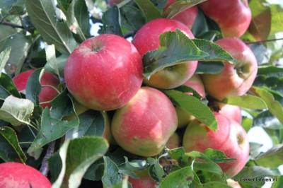 appels-peren-plukken_4019