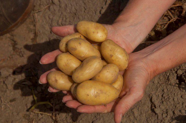 Zilte aardappels