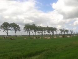 Koeien Boeren Goudse Oplegkaas