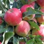 Appels; Over design, smaak en seizoen