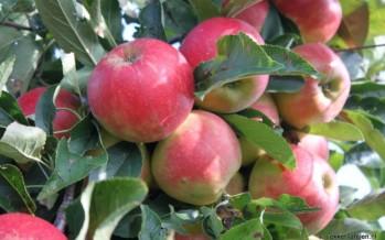 Appel soorten