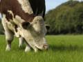Iers rundvlees: Stoven in de herfst en toch de zomer proeven