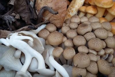 Paddenstoelen oesterzwam goudknopje hoorn des overvloed