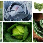 Koolsoorten; supervoedsel en heel gevarieerd